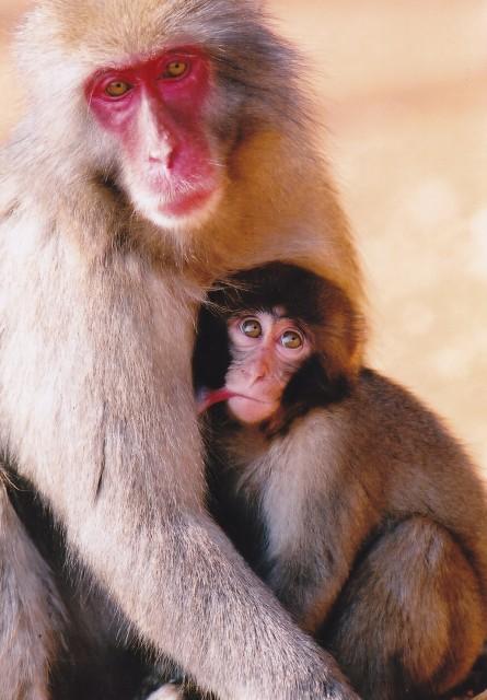 お猿の出産ラッシュ!