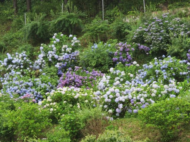 紫陽花園☸
